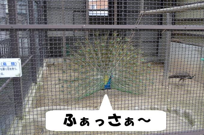 河北児童動物園_くじゃく
