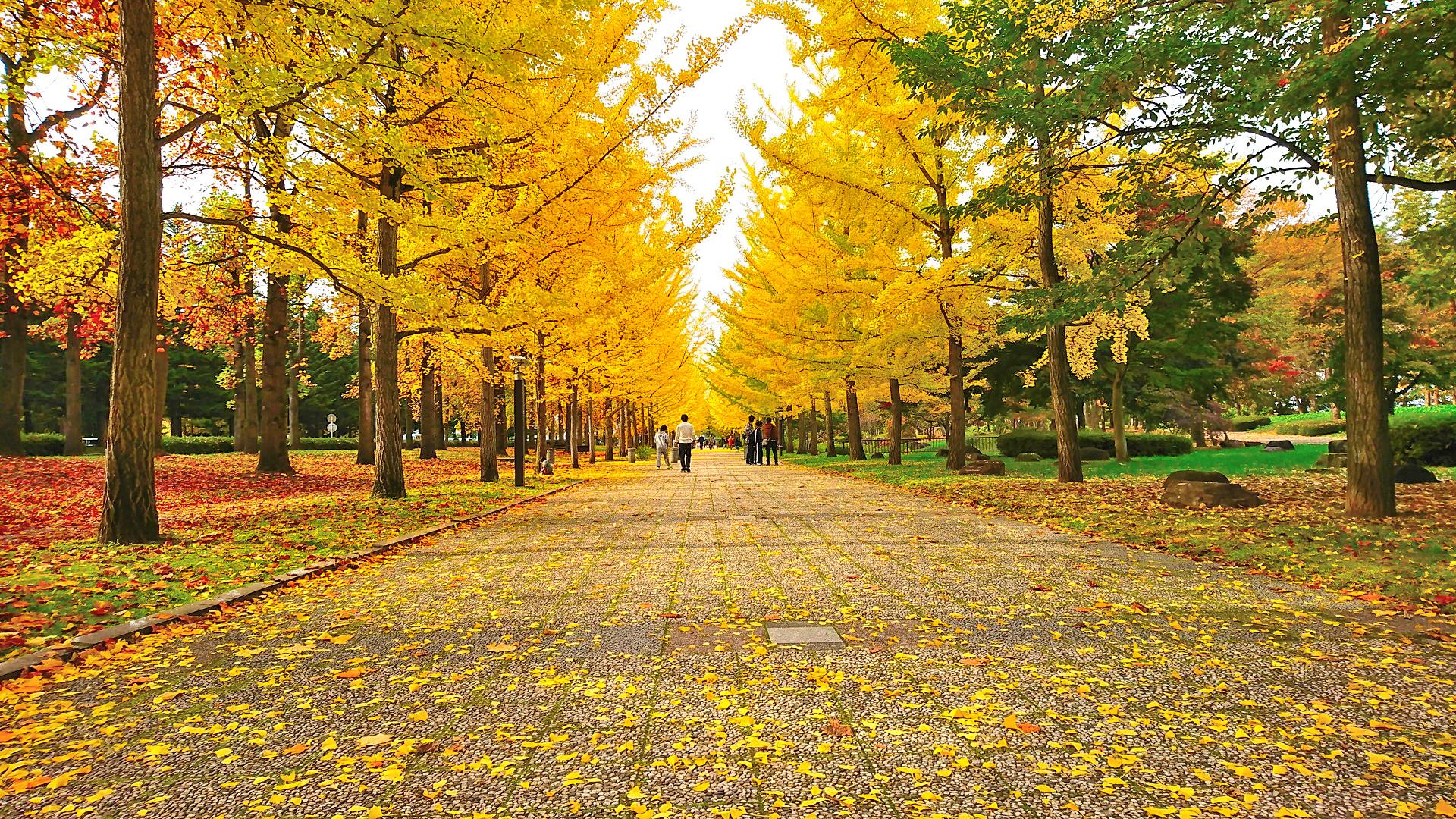 県総合運動公園のいちょう並木の全景1