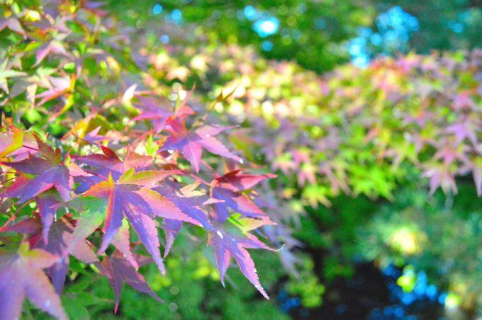 もみじ公園-紅葉の様子2