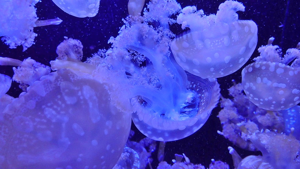 【寄稿記事紹介】加茂水族館「クラゲドリーム館」で幻想的なひとときを