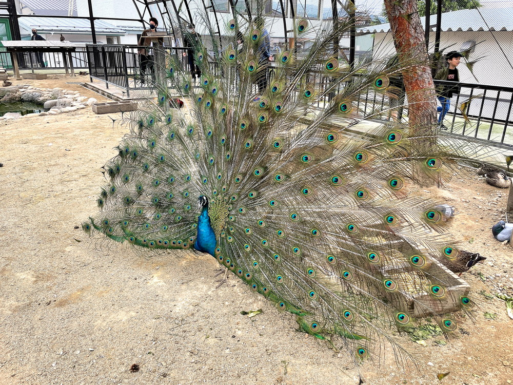 河北町児童動物園-放鳥舎-孔雀1